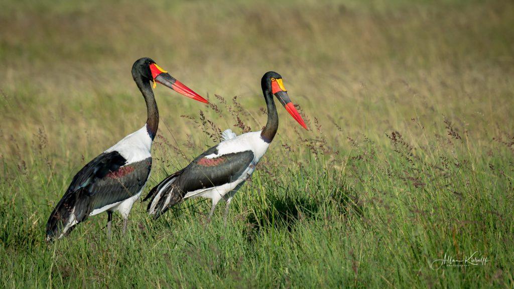 fugle-saddelneeb-stork