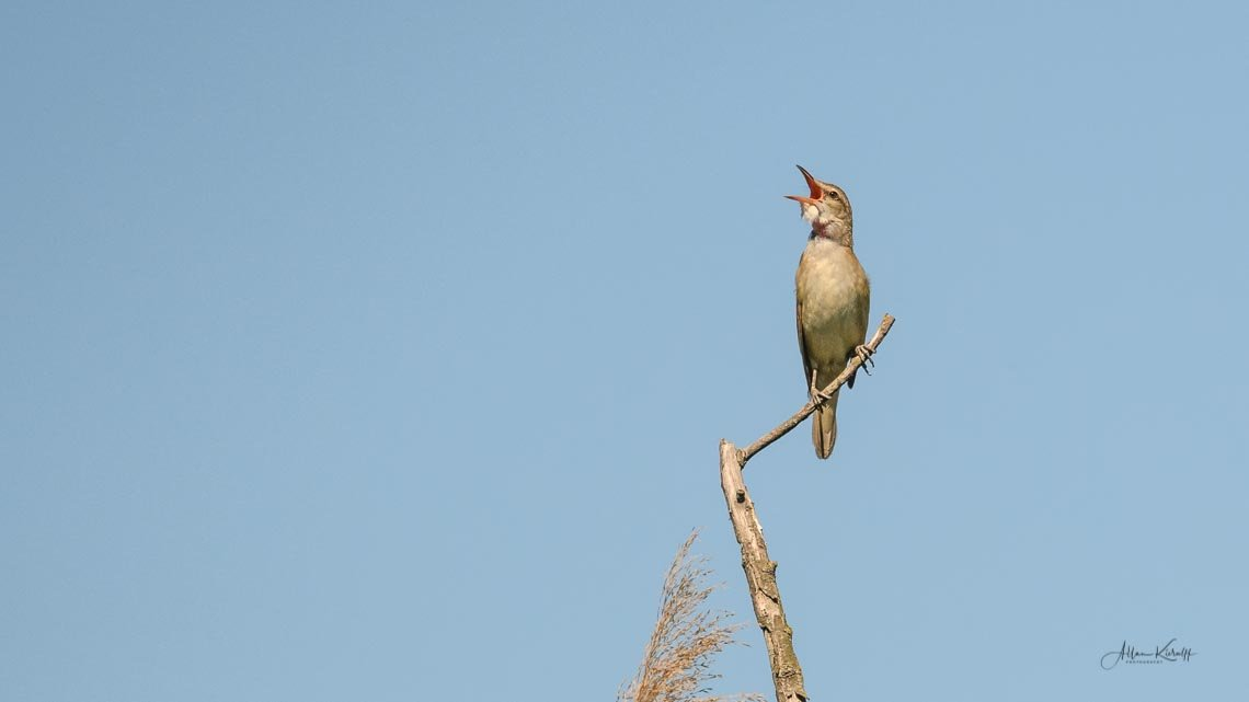 Donau Deltaets fugle