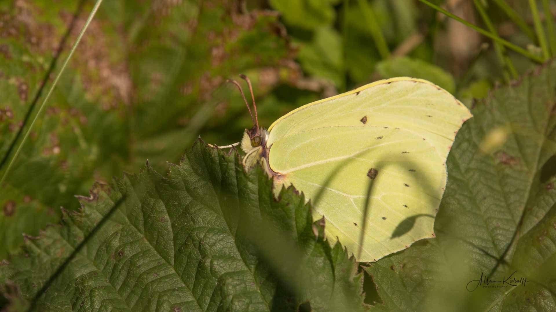 Citronsommerfugl Gonepteryx rhamni 1