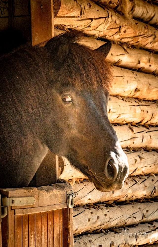 hest-stikker-hovedet-ud af-boks