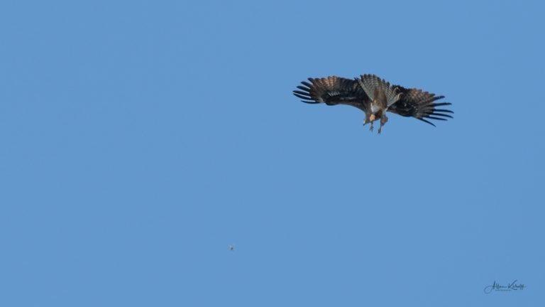 Rovfugle i Extremadura