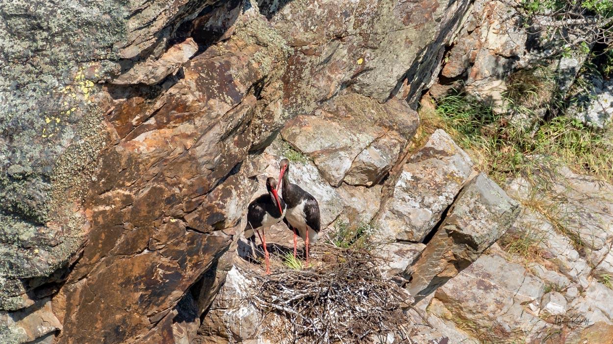 Sort-Stork