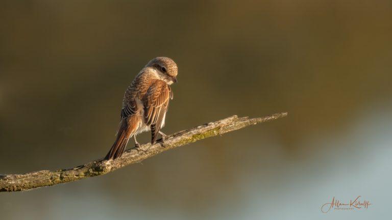 Spurvefugle Tornskade
