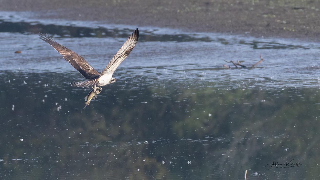 Rovfugle i Danmark