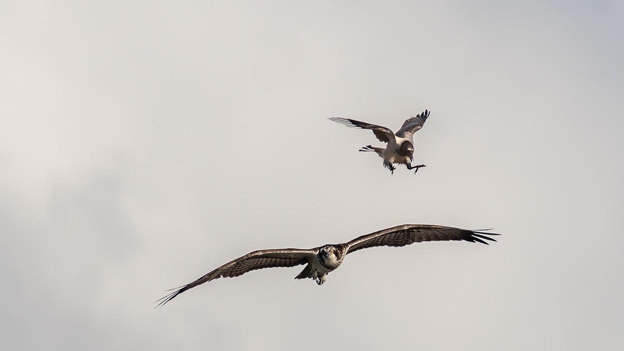 Fiskeørn-vs-krage