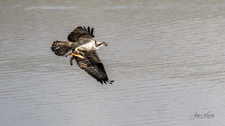 fiskeørn-flyver