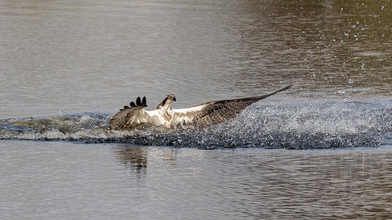 Fiskeørn-nedslaget