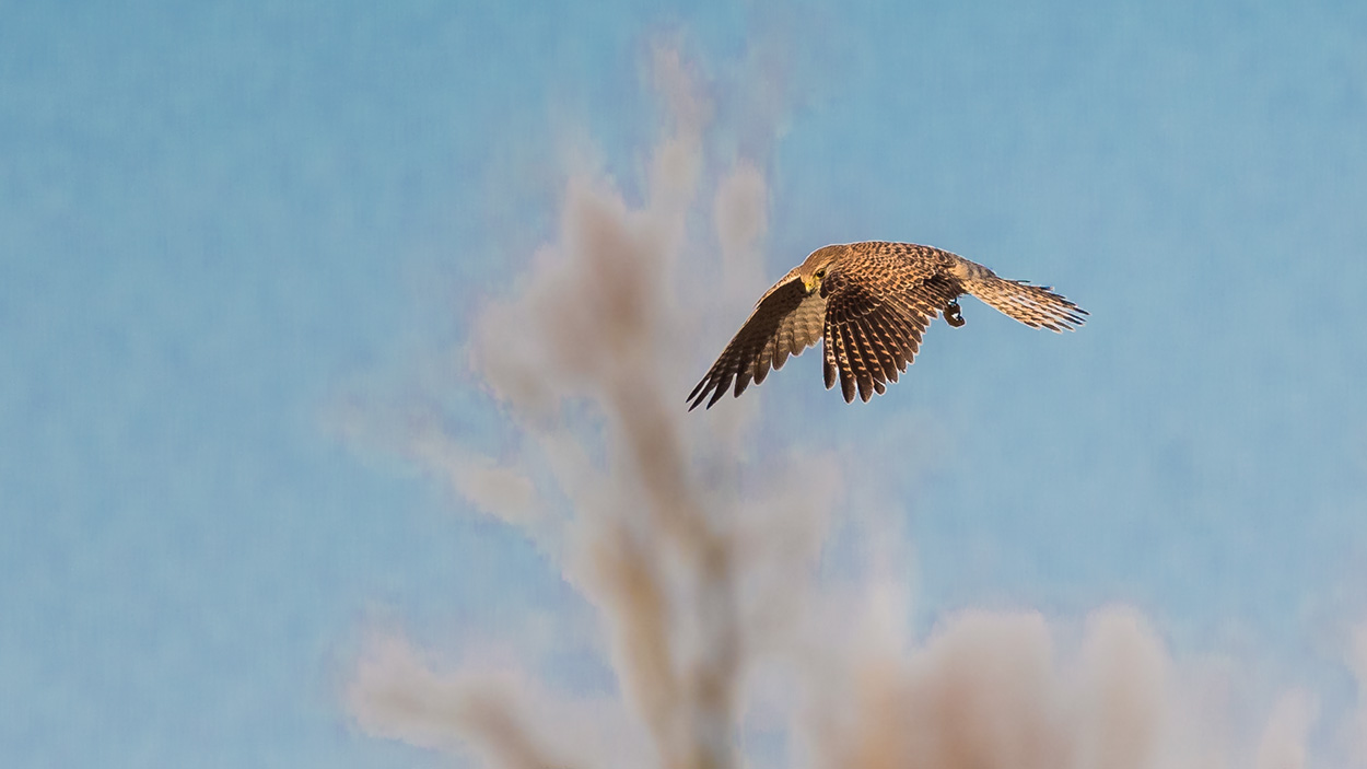 Flyvende Tårnfalk