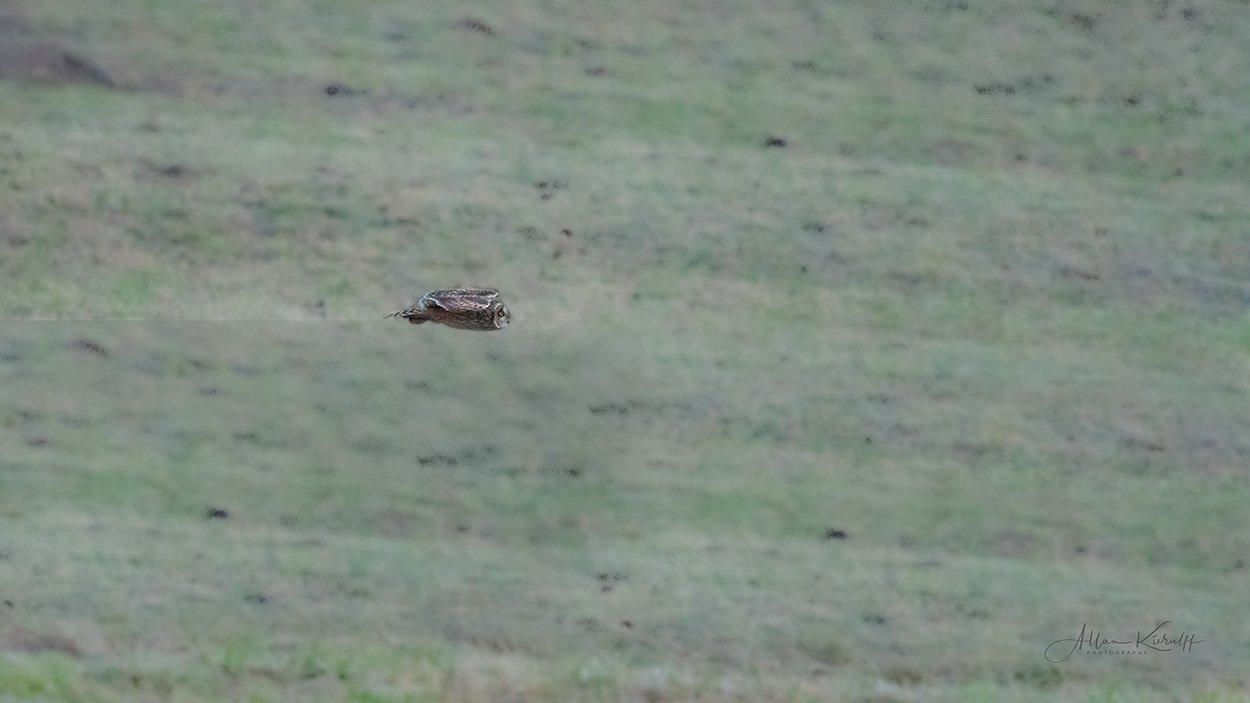 Mosehornugle