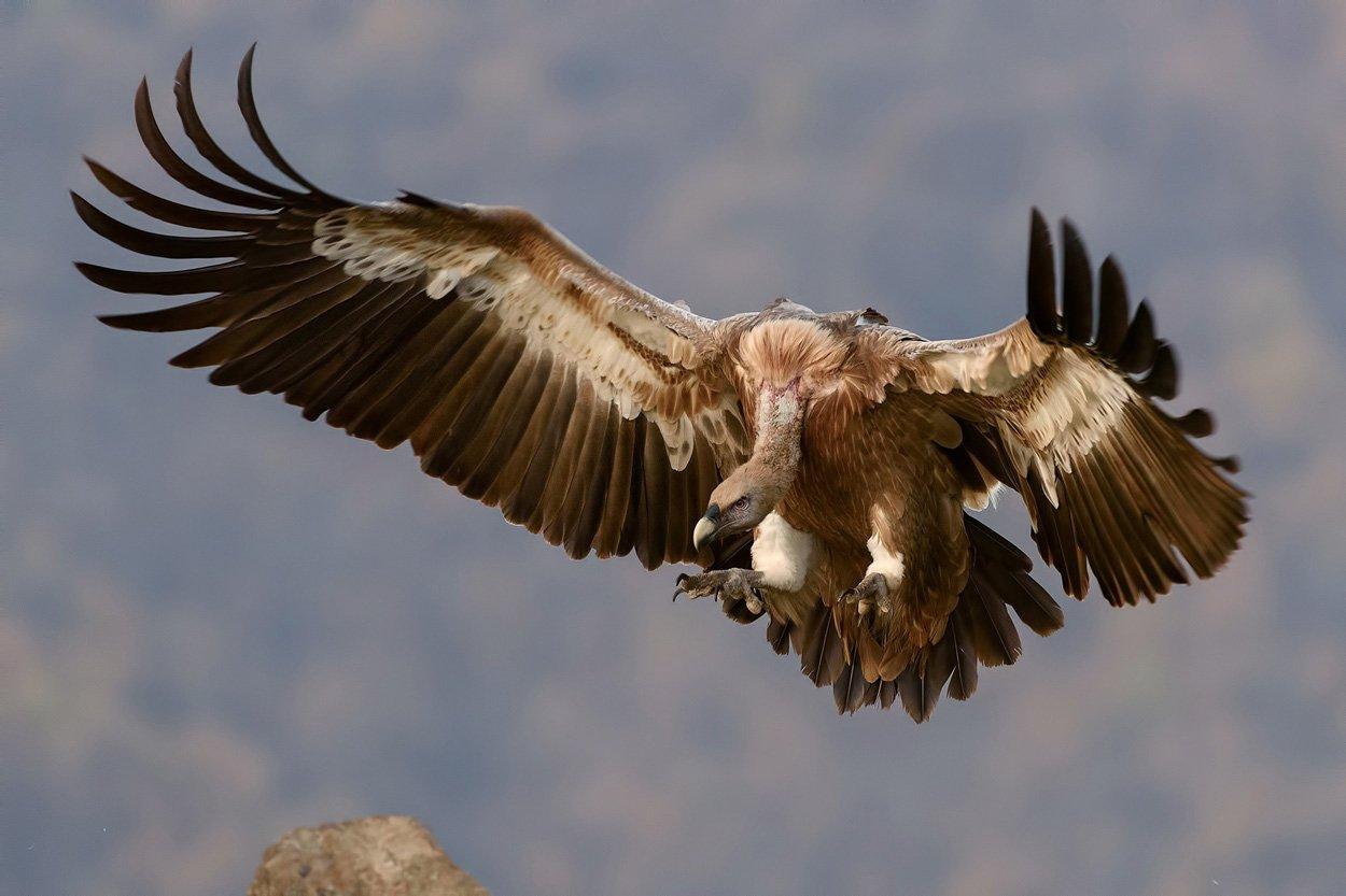 Rovfugle definition