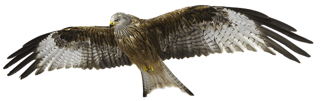 red kite 1 1