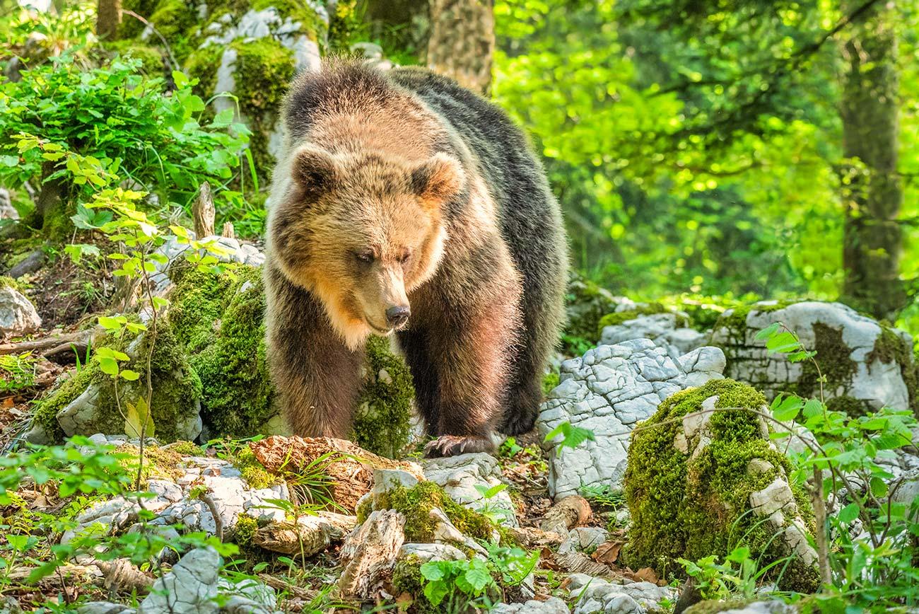 Europæisk Brun Bjørn