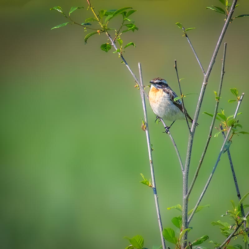 Solvenien fugle 4