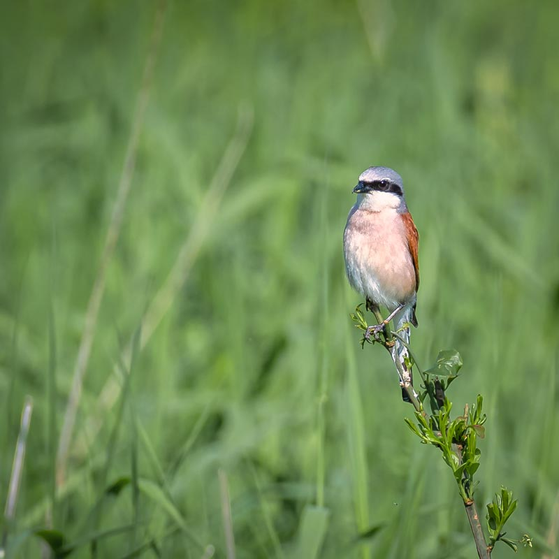 Solvenien fugle 6