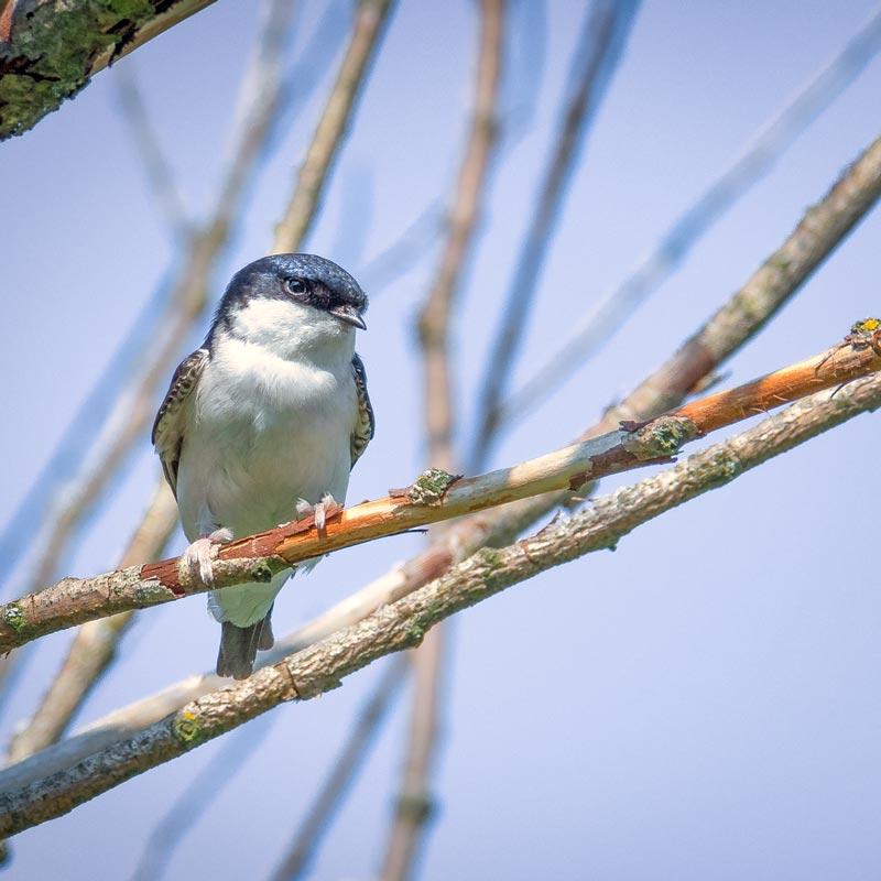 Solvenien fugle 8
