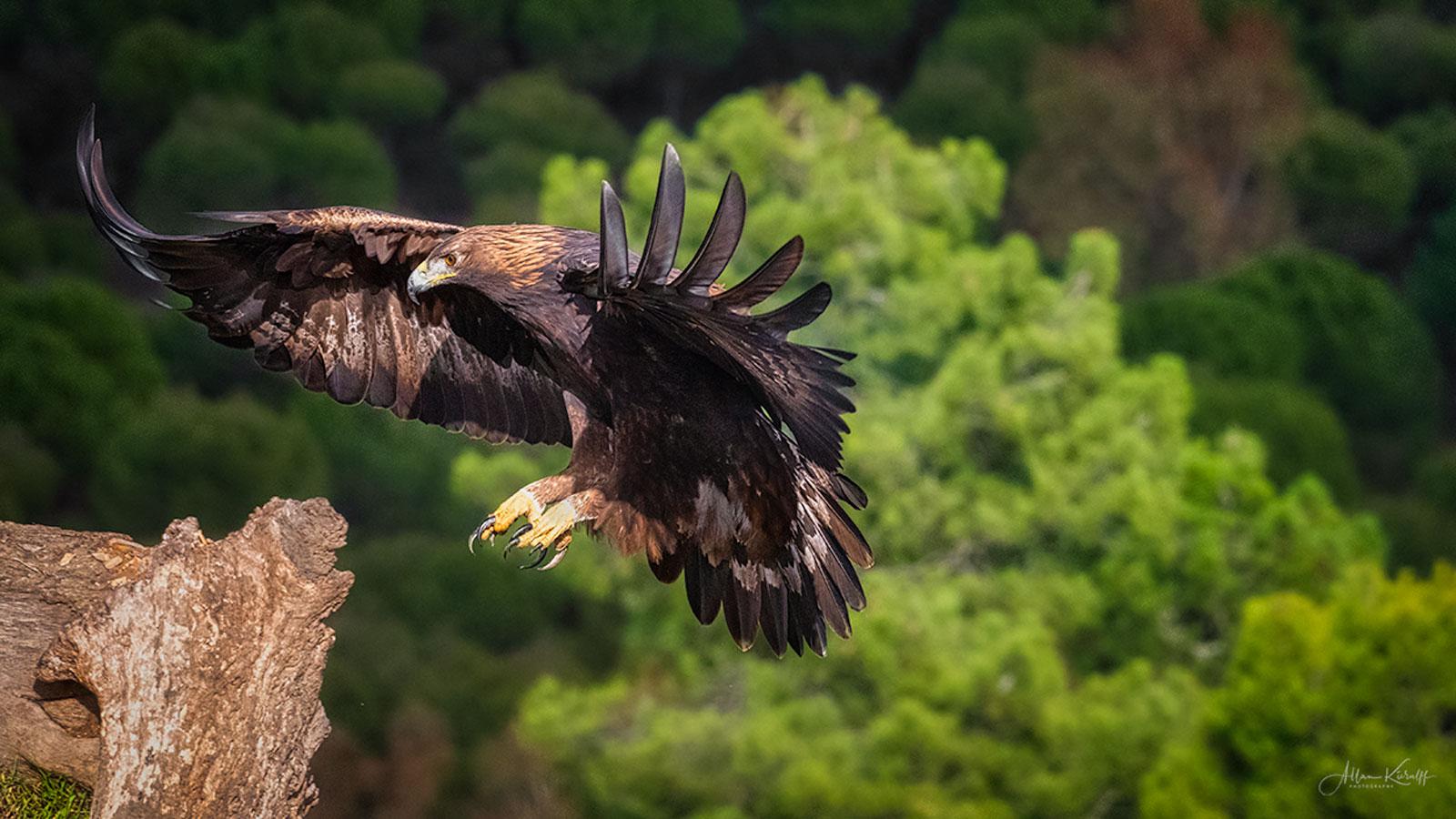 Flyvende kongeørn i Sierra Morena
