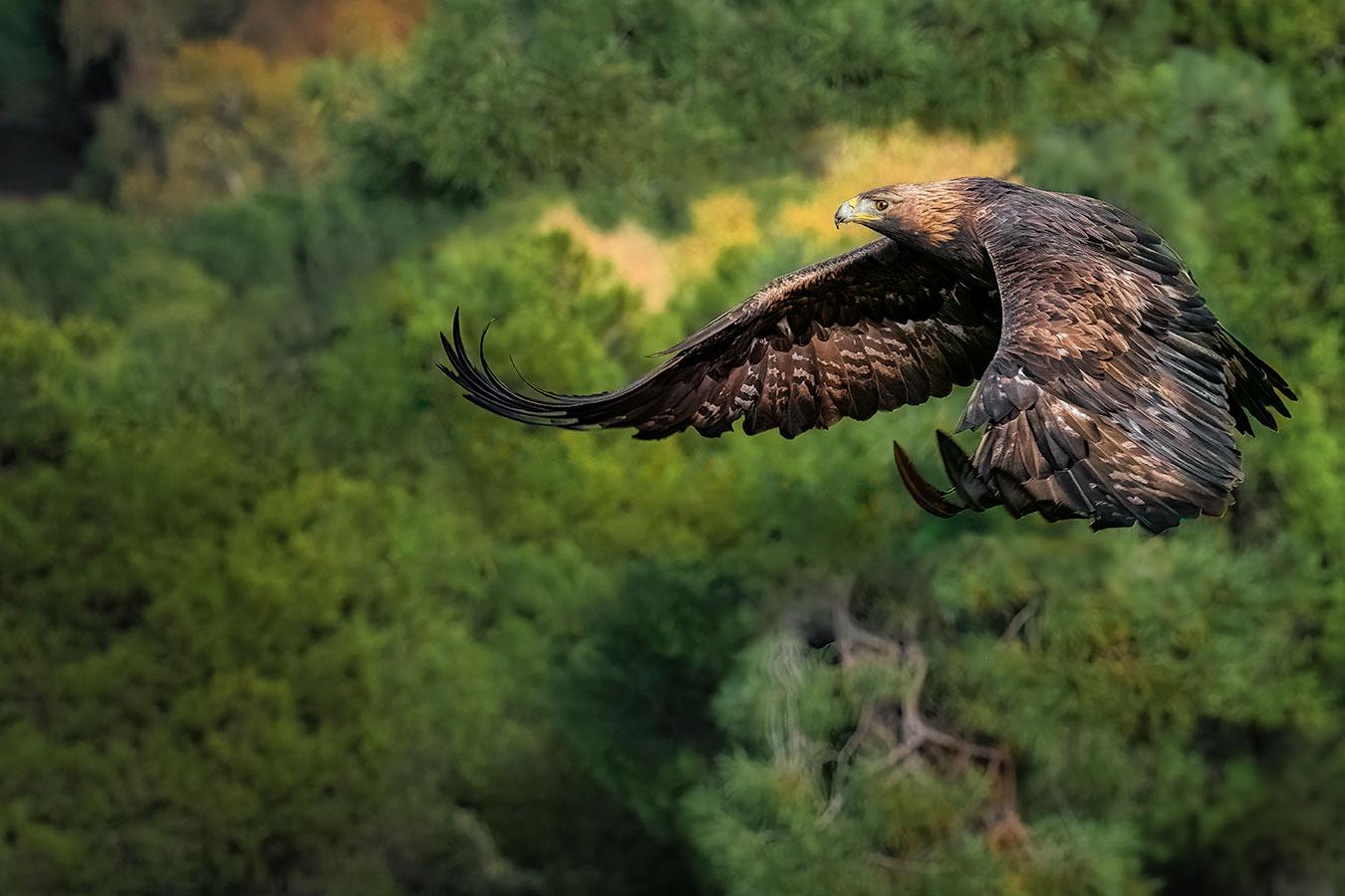 Kongeørn flyvende over en skov i Sierra Morena