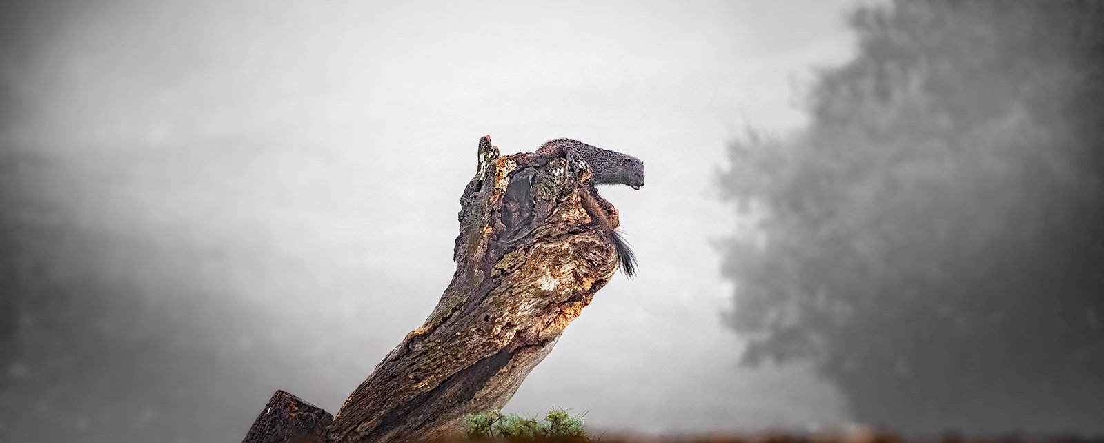 manguster klarter i et træ Flyvende Rød glente i Sierra Morena