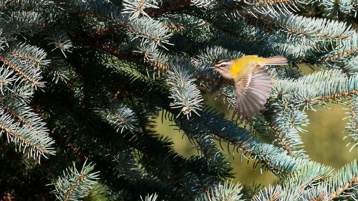 Rødtoppet Fuglekonge er relativ sjælden