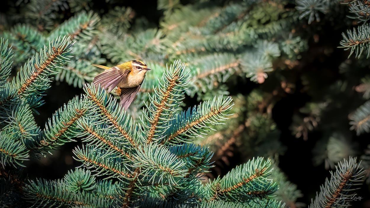 Rødtoppet Fuglekonge
