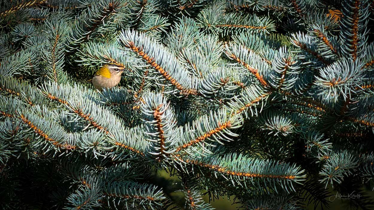 Rødtoppet fuglekonge siddende på en gren