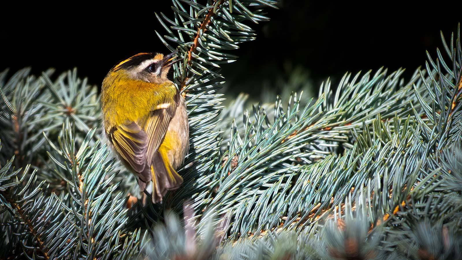 Fuglekonge Rødtoppet siddende på en gren