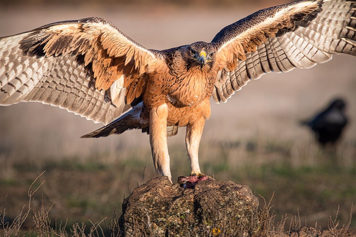 Høgeørn stående på en træstamme med udbredte vinger ved Hides de El Taray