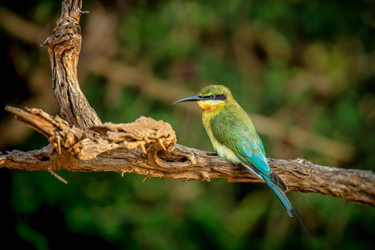 skrigefugle